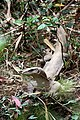 Bengal monitor (Varanus bengalensis) or common Indian monitor - ഉടുമ്പ്. (31588867212).jpg