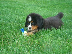 Bernese Puppy.jpg