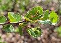 Betula nana kz04.jpg