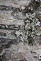 Betula papyrifera 8843.JPG