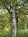 Betula pendula (26).JPG