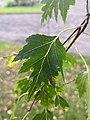 Betula pendula laciniata speciae nova 2.jpg