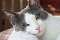 Bicolor he-cat2.JPG