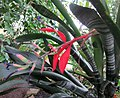 Billbergia porteana flowering plant.jpg