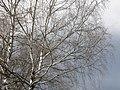 Birch - panoramio (1).jpg
