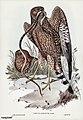Bird illustration by Elizabeth Gould for Birds of Australia, digitally enhanced from rawpixel's own facsimile book27.jpg
