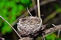 Bird nest srilanka 001.jpg