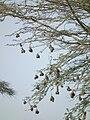 Birdnests in Tanzania 3549 Nevit.jpg