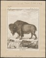Bison americanus - 1700-1880 - Print - Iconographia Zoologica - Special Collections University of Amsterdam - UBA01 IZ21200235.tif