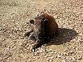Bison bison, Brno.jpg