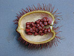 Bixa orellana seeds.jpg
