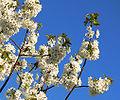 Blüte Süsskirsche.jpg