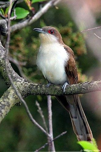 Black-billed cuckoo - Image: Black billed cuckoo 2