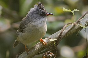 Black-chinned Yuhina Mahananda Wildlife Sanctuary West Bengal India 05.11.2015.jpg