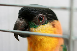Companion parrot - Black-headed caique in its cage