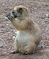 Black-tailed Prairie Dog-Wichita Mountain Wildlife Refuge-2.jpg