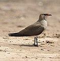 Black-winged pratincole (Glareola nordmanni) at Mkhombo Dam, Mpumalanga (36861637734).jpg