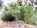 Black Boys (Australian Native Grass Trees) - panoramio.jpg