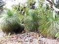 Black Boys (Australian Native Grass Trees) - panoramio.jpg