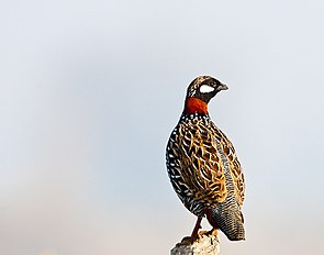 Black Fancolin (6978394403).jpg