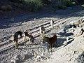 Black Metal Wash Californian Burros - panoramio - Zzyzx (6).jpg