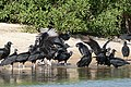 Black Vultures (Coragyps atratus) at the beach ... (31029565923).jpg