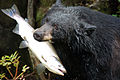 Black bear with salmon.jpg