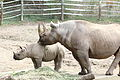 Black rhinoceros mother and calf at the Pittsburgh Zoo 01.jpg