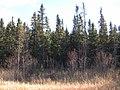 Black spruce forest near McKinley - panoramio.jpg