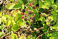 Blackberry bunch - Hillsboro, Oregon.JPG