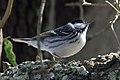 Blackpoll Warbler (male) Sabine Woods TX 2018-04-22 14-43-58 (28120504148).jpg