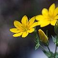 Blackstonia perfoliata-Centaurée jaune-Étamines-20160607.jpg