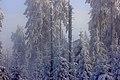 Blick in den Wald am Schneeberggipfel (2015-01-01 WDPA ID 82540).jpg