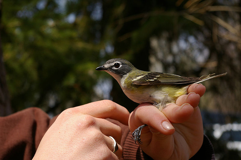 File:Blue-Headed Vireo 1.jpg