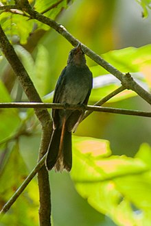 Blue Fantail - Mindanao - Philippines H8O1686 (19242108890).jpg