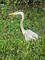 Blue Heron (3529083610).jpg
