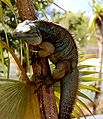 Blue Iguana in tree.jpg