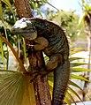 Blue Iguana in tree.jpg