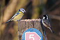 Blue Tit and Coal Tit (6715155445).jpg