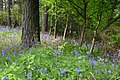 Bluebells. Shilford West Wood - geograph.org.uk - 5762.jpg