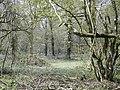 Bluebells in Breamore Wood - geograph.org.uk - 401770.jpg
