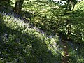 Bluebells on Dyer's Hill - geograph.org.uk - 805376.jpg