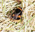 Bombus terrestris (Buff-tailed bumblebee) - queen - Flickr - S. Rae (3).jpg
