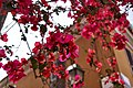 Bougainvillea on Geronta Street in Plaka.jpg