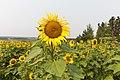 Bowden Sun Maze (38320256741).jpg