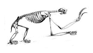 Pale-throated sloth - Skeleton of pale-throated sloth