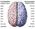 Brain hemispheres.jpg