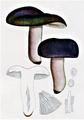 Bresadola - Russula cyanoxantha.png
