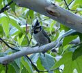 Bridled Titmouse. Baeolophus wollweberi (1) - Flickr - gailhampshire.jpg