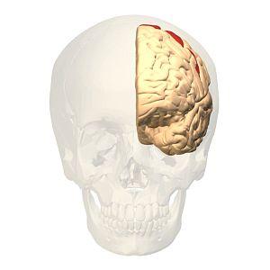 Brodmann area 4 - Image: Brodmann area 4 frontal